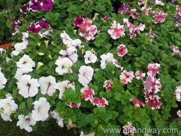 petunia in north indian garden (9)