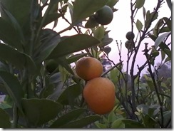 Chinese orange for a bee garden in Lucknow India