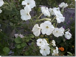 Petunia flowers  for my bee garden in Lucknow, India