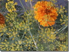 Aniseed and Marigold flowers for a bee garden