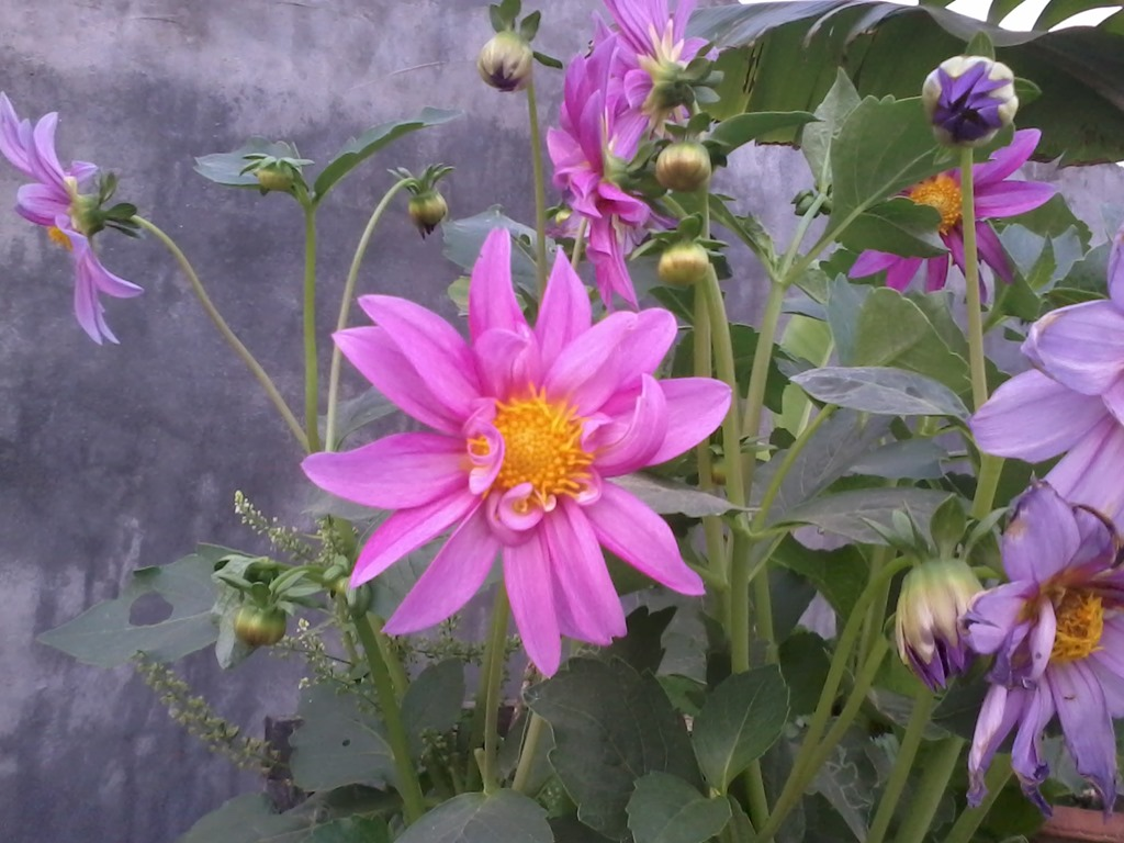 Welcoming bees butterflies insects and birds in my garden in india dahlia for bee garden in march lucknow izmirmasajfo