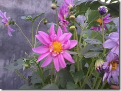 Dahlia for bee garden in March, Lucknow, India