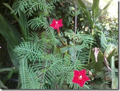 Cypress vine for bees garden in Lucknow India