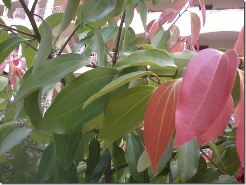 bay leaf bangalore india