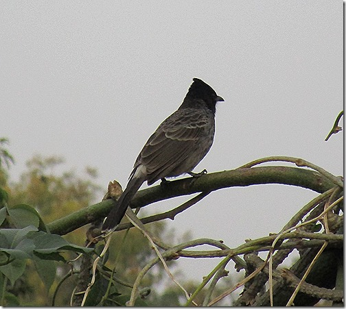 Bulbul Lucknow Birdwatching India November