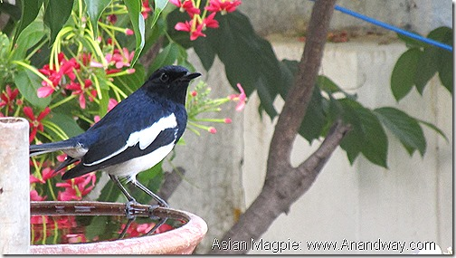 Oriental or Asian Magpie Lucknow Birdwatching India November