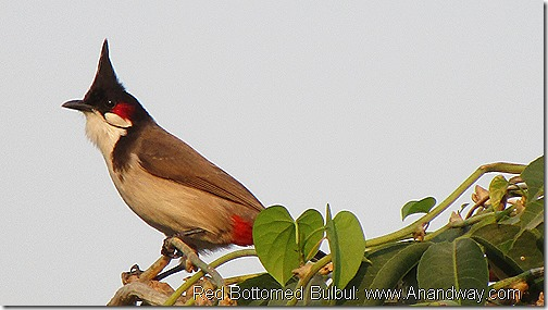 Red Bottomed Bulbul Lucknow Birdwatching India November