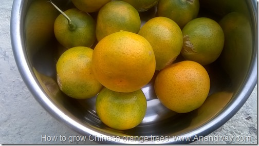 How to grow Chinese orange trees