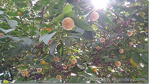 flowering kadamb tree Indian flora