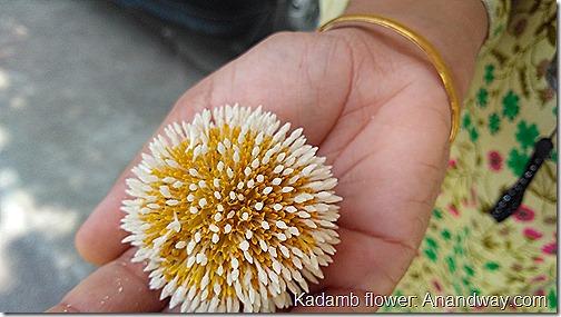 kadamb flower in India