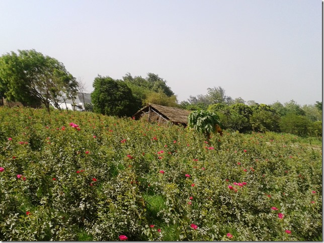 organic roses at vrindavan farm organic india, lucknow