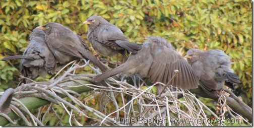jungle babblers in Lucknow India bird festival uttar pradesh (2)