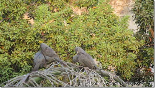 jungle babblers in Lucknow India