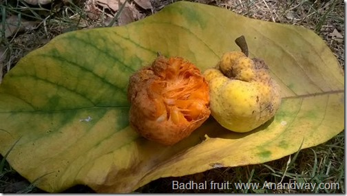 badhal fruit india