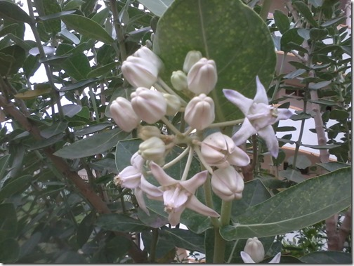 madar milkweed for butterflies