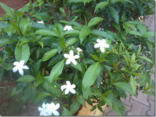 white chandni flowers shrub