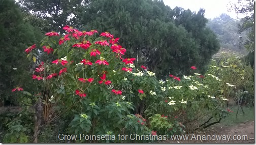 how to grow poinsettia for Christmas