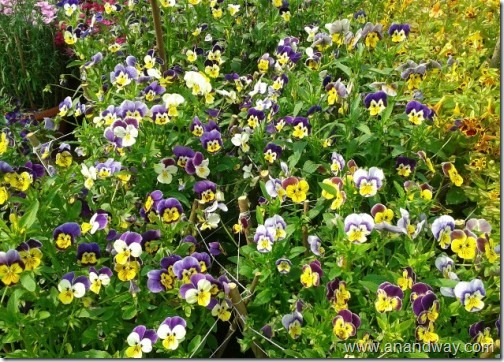 pansy in lucknow garden