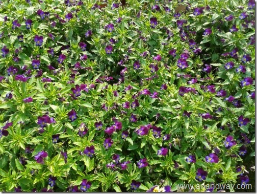 pansy in lucknow garden up