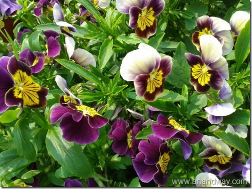 pansy in lucknow garden uttar pradesh india