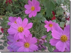 Cosmos flowers  for my bee garden in Lucknow, India