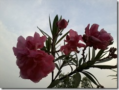 Oleander flower shrub  for bees garden in Lucknow India
