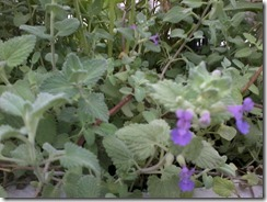 Lemon balm for bee garden in March, Lucknow, India