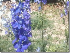 Larkspur flowers  for my bee garden in Lucknow, India
